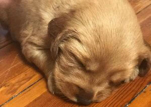 Calo Young Adults - Golden Retriever Puppy